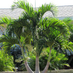 Купить семена, растение – Адонидия Меррилла (Adonidia merrillii)
