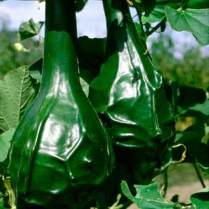 Купить семена, растение – Лагенария Динозавр (Lagenaria siceraria)