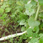 Купить семена, растение – Лагенария длинноплодная (Lagenaria siceraria)