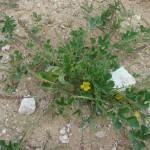 Купить семена, растение – Огурец африканский дикий (Cucumis africanus)