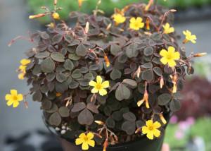 Купить семена, растение – Кислица рожковая (Oxalis corniculata)