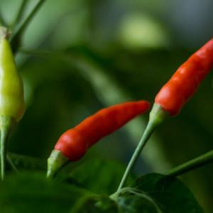 Купить семена, растение – Перец кайенский Птичий глаз (Capsicum frutescens Bird's eye)