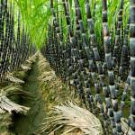 Купить семена, растение – Сахарный тростник культивируемый (Saccharum officinarum)