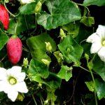 Купить семена, растение – Кокциния индийская (Coccinia indica)