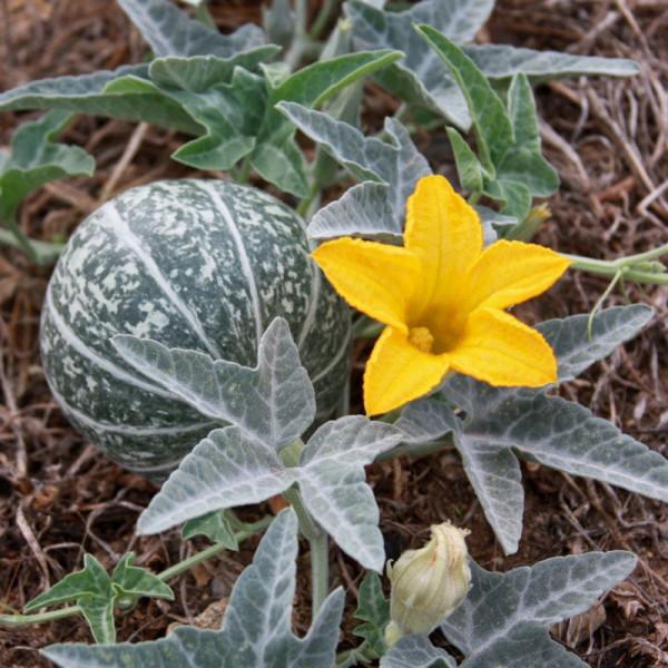 Купить семена, растение – Тыква вонючая (Cucurbita foetidissima)