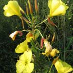 Купить семена, растение – Энотера красночашечная (Oenothera glazioviana)