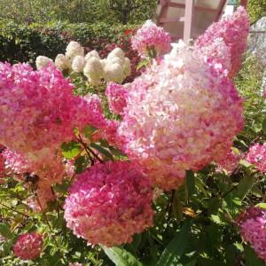 Купить растение Гортензия метельчатая Ванилла Фрайз (в тубе)
