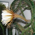 Купить растение Царица ночи (Selenicereus grandiflorus)