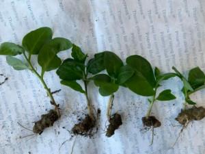 Купить растение Анредера сердцелистная (Anredera cordifolia)