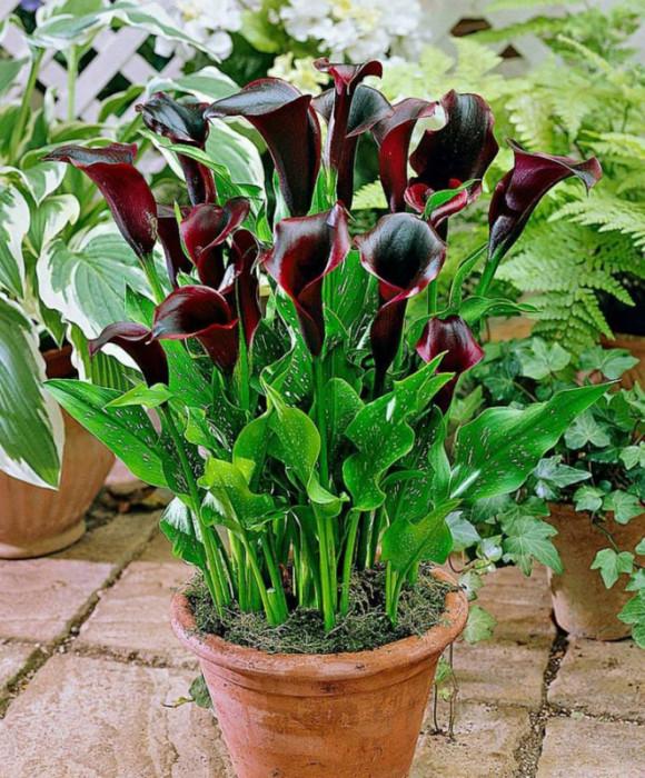 """Купить растение - Зантедеския """"Бордо"""""""
