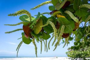 Купить семена, растение – Кокколоба ягодоносная (Coccoloba uvifera)