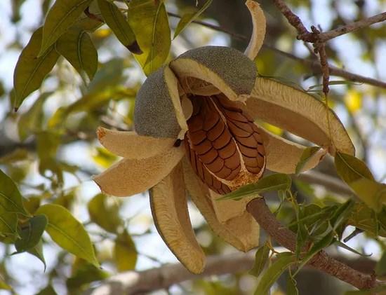 Купить семена, растение – Свитения (Swietenia mahagoni)