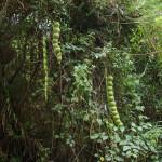Купить семена, растение – Энтада (Entada rheedii)
