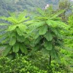 Купить семена, растение – Схизолобиум (Schizolobium parahyba)