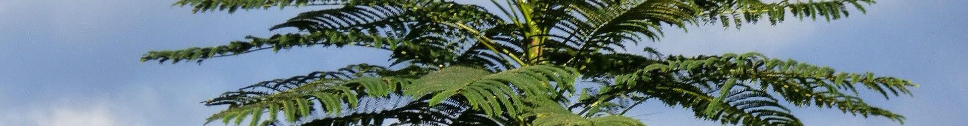 Схизолобиум (Бразильское огненное дерево)