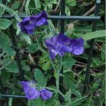 Купить семена, растение – Клитория тройчатая (Clitoria ternatea)