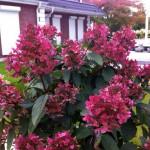 Купить растение - Гортензия метельчатая Уимс Ред