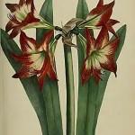 Купить растение - Гиппеаструм красноватый (Hippeastrum striatum)