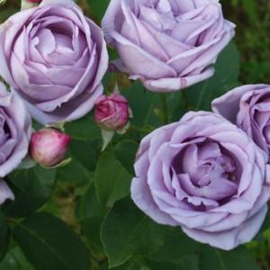 Купить растение - Роза плетистая Indigoletta