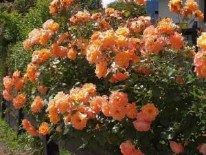 Купить растение - Роза плетистая Westerland