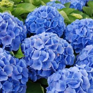 Купить растение - Гортензия голубая