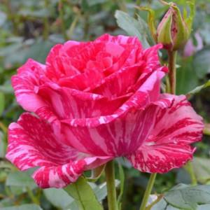 Купить растение - Роза чайно-гибридная Пинк Интуишн