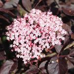 Купить растение - Бузина черная «Тундерклоуд»