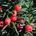 Купить растение - Тис ягодный