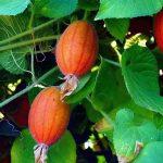 Купить растение - Тладианта сомнительная
