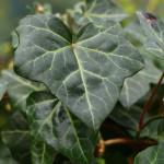 Купить растение - Плющ обыкновенный, Хедера Хеликс