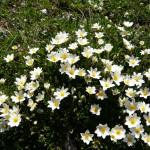 Купить растение - Дриада восьмилепестная, Куропаточья трава (Dryas octopetala)