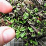 Купить растение - Котула лапчатниковая