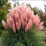 Купить растение - Кортадерия розовая (саженец)
