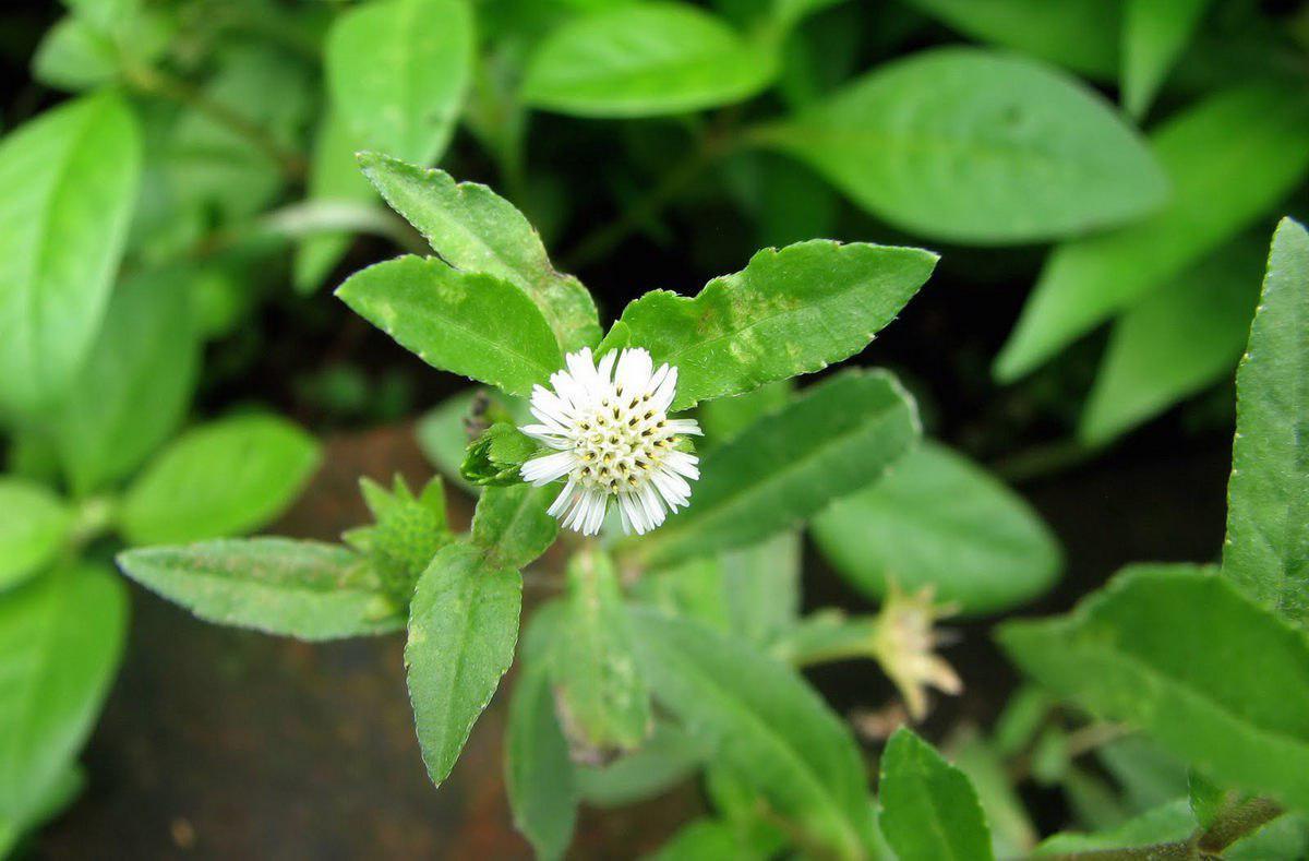 Купить семена, растение – Эклипта белая (Eclipta alba)