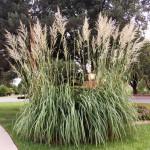 Купить растение - Сахарный тростник равеннский
