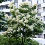 Купить семена, растение – Лигустрина амурская (Syringa amurensis)