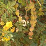 Купить семена, растение – Акация нильская (Acacia nilotica)