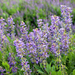 Купить семена, растение – Козлятник восточный (Galega orientalis)
