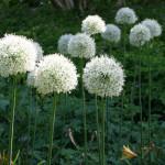Купить семена, растение – Афлатунский лук белый (Allium aflatunense)