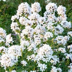 Купить семена, растение – Колокольчик молочноцветковый (белый)