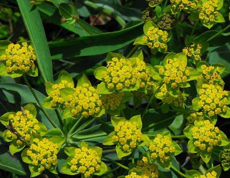 Купить семена, растение – Володушка золотистая (Bupleurum aureum)