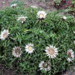 Купить растение - Колючник бесстебельный (Carlina acaulis)