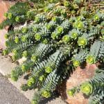 Купить растение - Молочай миртолистный (Euphorbia myrsinites)