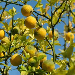 Купить растение - Понцирус трёхлисточковый (Citrus trifoliata)