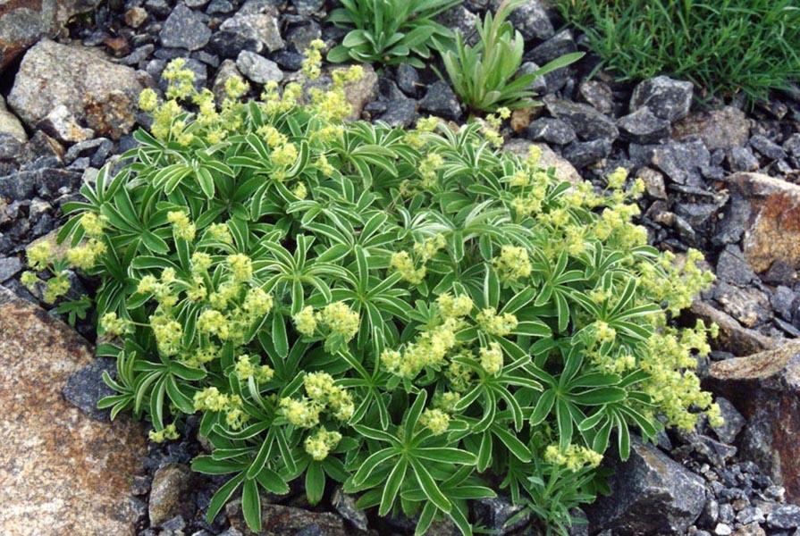 Купить растение - Манжетка альпийская (Alchimilla alpina)