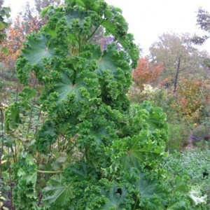 Купить семена, растение – Просвирник кудрявый Царские кудри