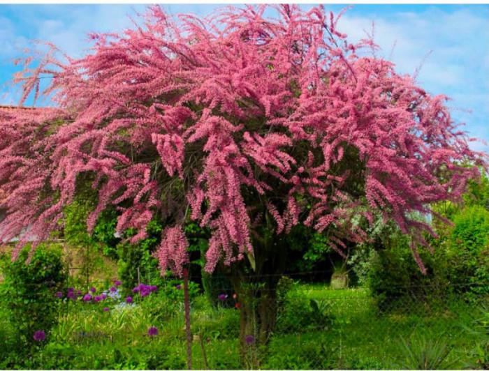 Купить растение - Тамарикс четырехтычинковый (Tamarix tetrandra)