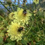 Купить семена, растение – Цефалярия гигантская