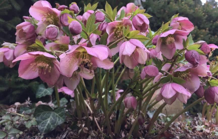 Купить семена, растение – Морозник Рождественская роза (розовый)