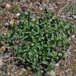 пахучка, Купить семена, растение – Зизифора клиноподиевидная, оленья трава